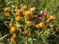 Inula conyzae 5, Donderkruid, Saxifraga-Rutger Barendse