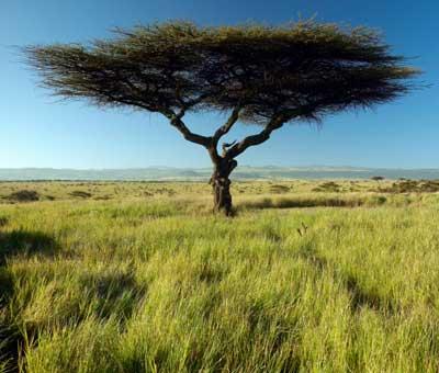 tree-acacia
